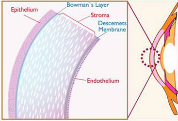 layers of the cornea