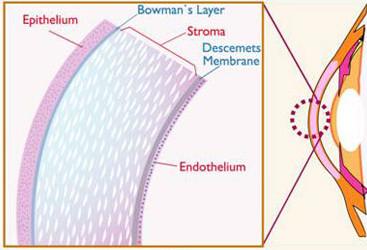 layers of the cornea